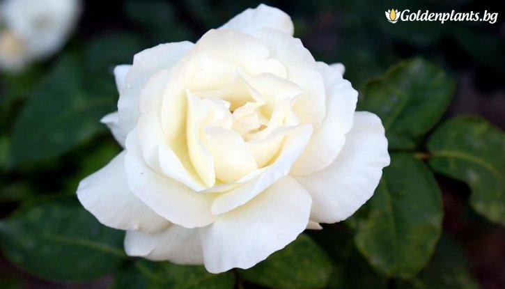 Снимка Бяла + зелена + червена щамбова роза - дърво 110-140 см