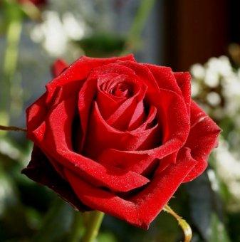 Червена + бяла + тъмно жълта щамбова роза - дърво 110-140 см..