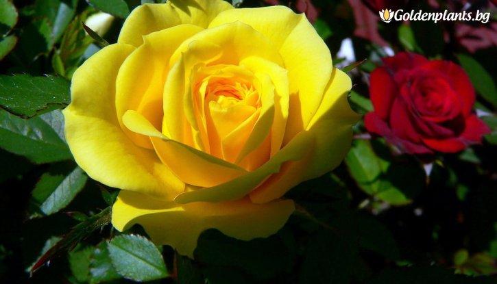 Снимка Бяла + тъмно жълта + лилава щамбова роза - дърво 110-140 см