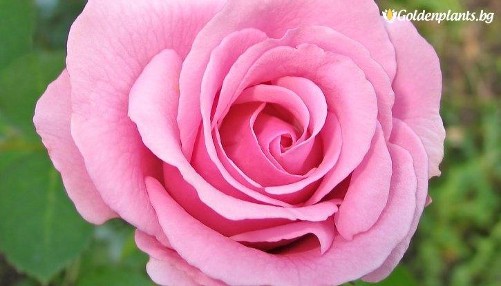 Снимка Червена + розова + прасковена щамбова роза - дърво 110-140 см