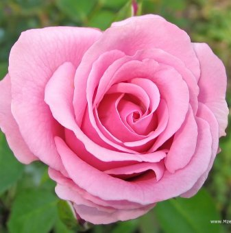 Червена + розова + прасковена щамбова роза - дърво 110-140 см..