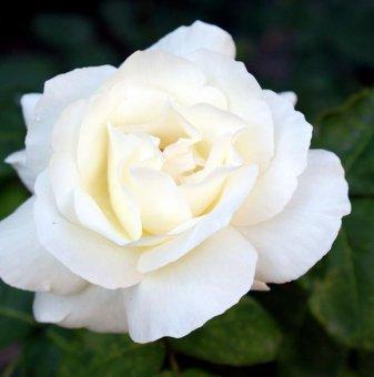 Снимка Бяла + розова + червена щамбова роза - дърво 110-140 см...