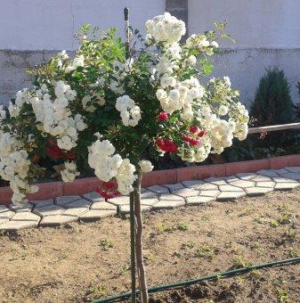 Двуцветна плачеща роза дърво - цикламена + бяла - 110-140 см..