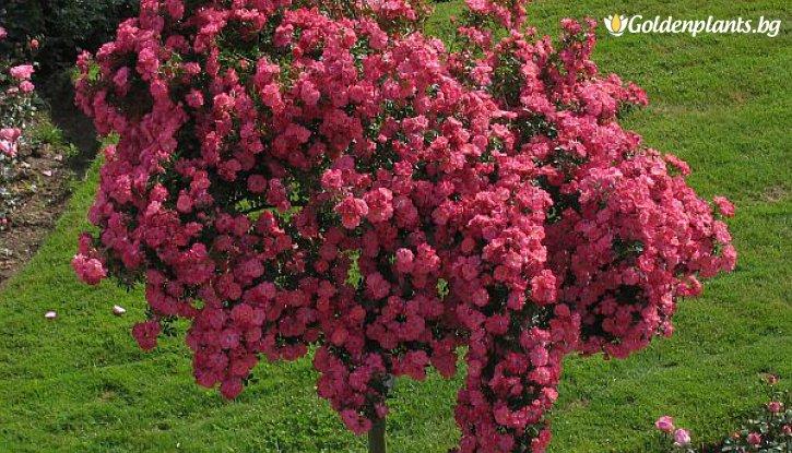 Снимка Двуцветна цикламено и бяло плачеща роза - Дърво 110 - 140 см.