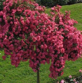 Двуцветна цикламено и бяло плачеща роза - Дърво 110 - 140 см...