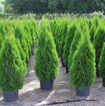Туя смарагд 15 - 25см /Thuja Occidentalis Smaragd/..