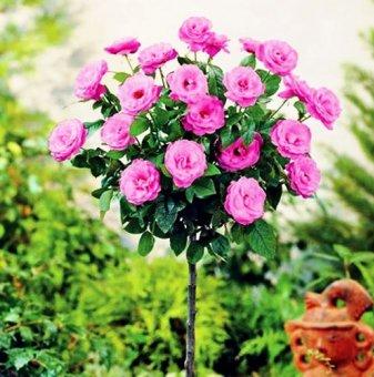 Розова мини щамбова роза  - дърво 70-90 см....