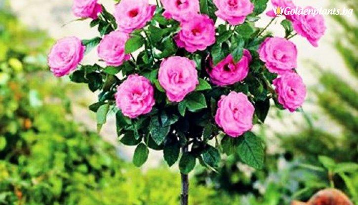 Снимка Розова мини щамбова роза  - дърво 70-90 см.