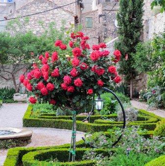 Червена мини щамбова роза - дърво 70-90 см.