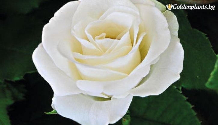 Снимка Бяла мини щамбова роза - дърво 70-90 см.