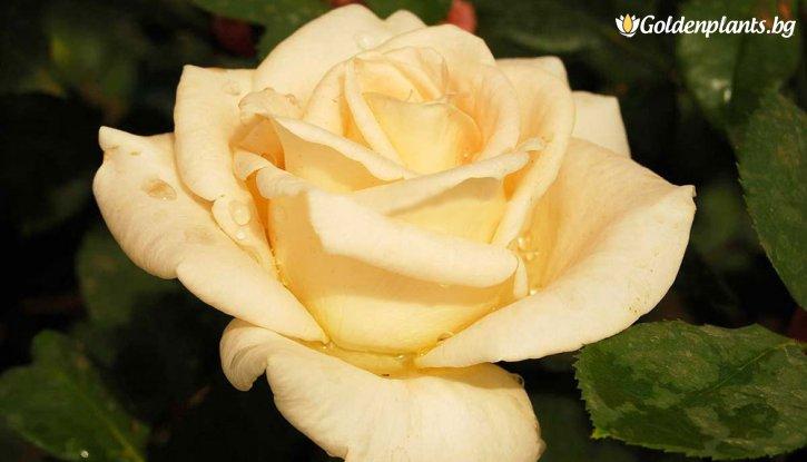 Снимка Бананова мини щамбова роза - дърво 70-90 см.