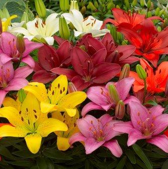 Лилиум Aзиатски микс /Lilies Asiatic mix/