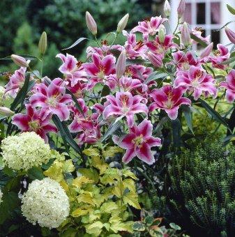 Снимка Лилиум Ориенталски микс /Lilies Oriental mix/...
