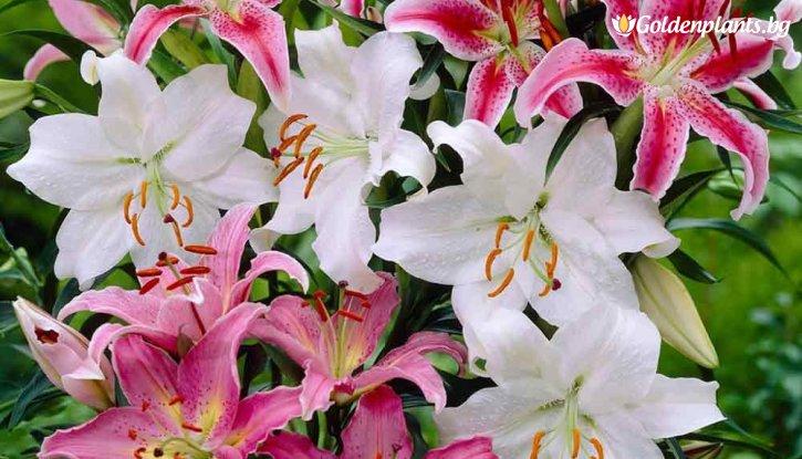 Снимка Лилиум Ориенталски микс /Lilies Oriental mix/