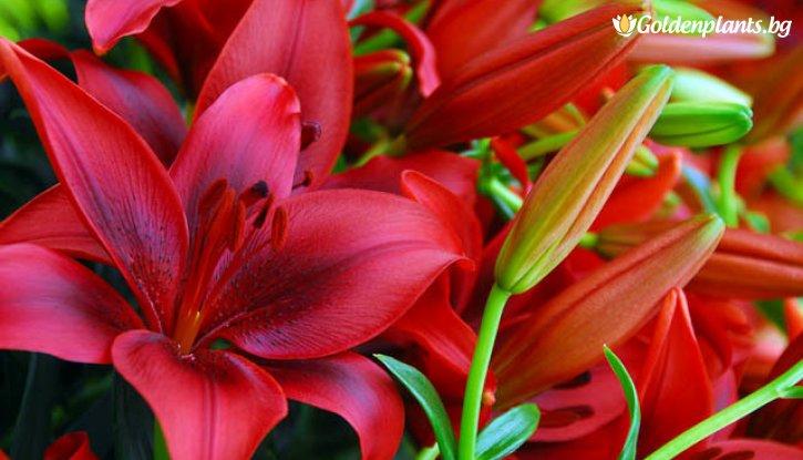 Снимка Лилиум Червено кадифе /Lilies Red Velvet/