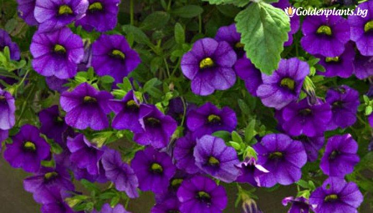 Снимка Калибрахое / Мини петуния / тъмно син цвят