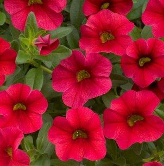 Снимка Калибрахое / Мини петуния / червен цвят...