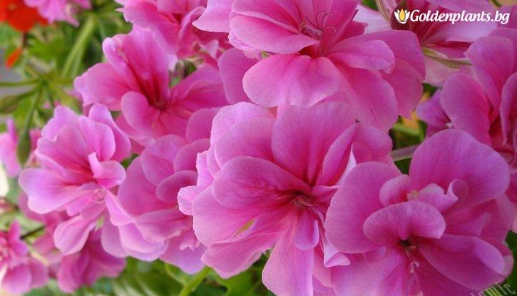 Снимка Мушкато Биволско око - розово