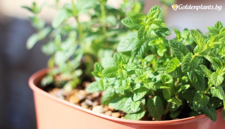 Снимка Мента Мароканска / Mentha spicata Morocco /