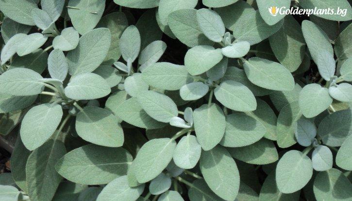 Снимка  Салвия officinalis Berggarten /Salvia officinalis Berggarten/