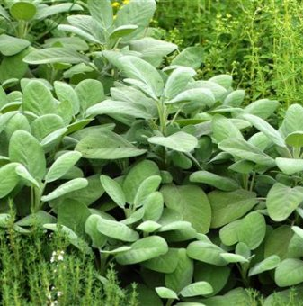 Салвия officinalis Berggarten /Salvia officinalis Berggarten/...