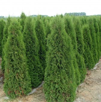 Туя Спиралис /Thuja occidentalis Spiralis/