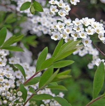 Снимка Спирея японика /Spiraea japonica/...