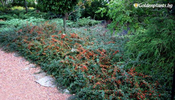 Снимка Котонеастър дребнолистен /Cotoneaster microphylla/