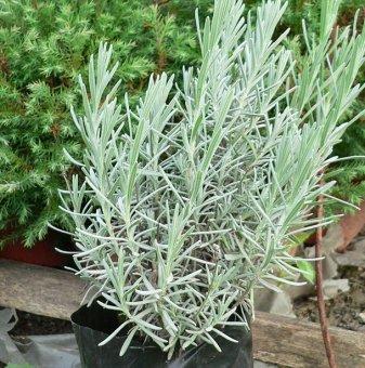 Къри 30-50 см. /Helichrysum italicum/...