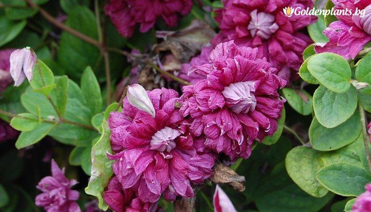 Снимка Клематис Purpurea Plena Elegans Viticella  /Clematis Purpurea Plena Elegans Viticella/