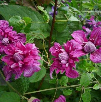 Клематис Purpurea Plena Elegans Viticella  /Clematis Purpurea Plena Elegans Viticella/..