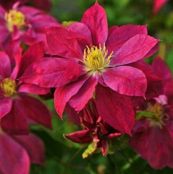 Клематис Red Star / Clematis Red Star /...