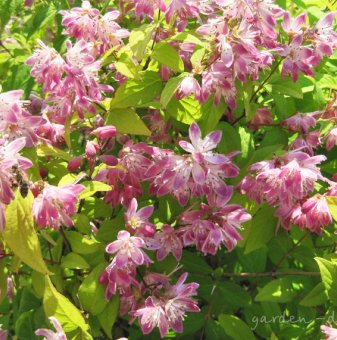 Дойция розова /Deutzia Perle Rose/