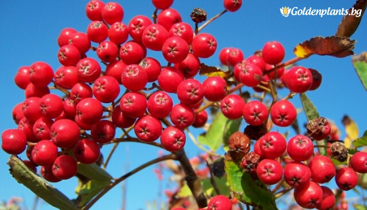 Снимка Офика / Самодивско дърво /Sorbus Aucuparia/