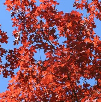 Червен дъб /Quercus Rubra/