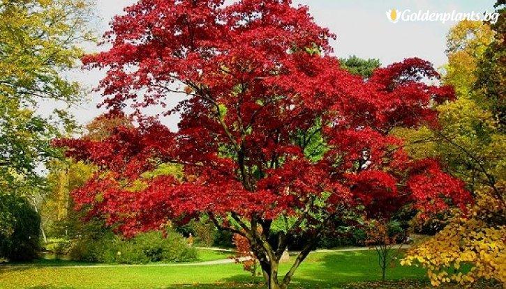 Снимка Червен дъб /Quercus Rubra/