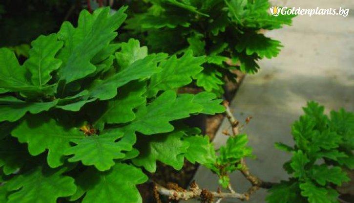 Снимка Обикновен дъб /Quercus robur/