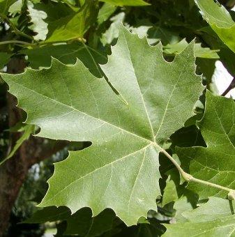 Хортензия бяла / Hydrangea Аrborescens /