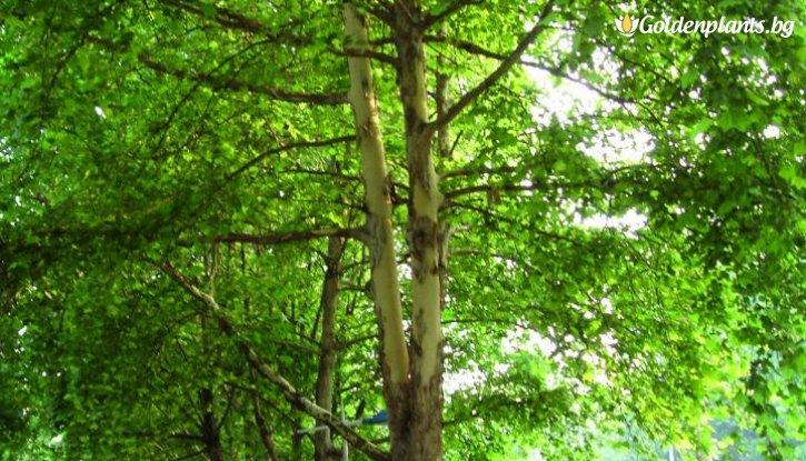 Снимка Яворолистен чинар /Platanus Acerifolia/