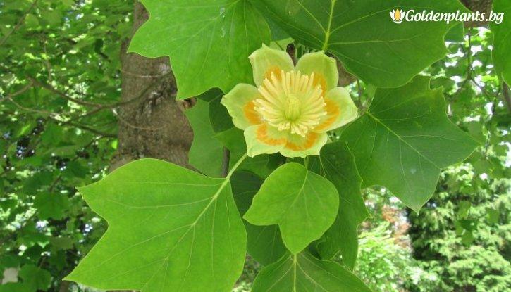Снимка Американско дърво-лале /Liriodendron tulipifera/