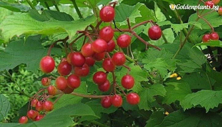 Снимка Червена калина / Viburnum opulus /