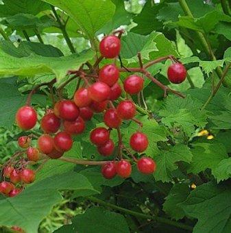 Червена калина / Viburnum opulus /...