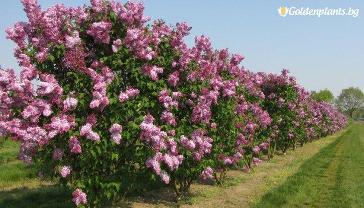 Снимка Обикновен люляк / Syringa vulgaris Marechal Foch/