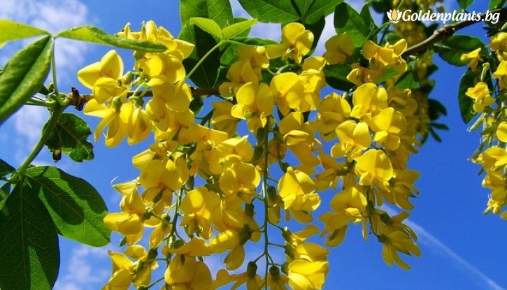 Снимка Жълта акация / Caragana Arborescens /