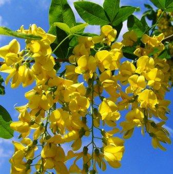 Снимка Жълта акация / Caragana Arborescens /...
