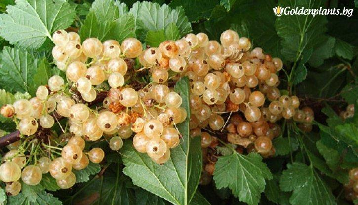 Снимка Касис бял 60 - 100 см. / Ribes rubrum white pearl /