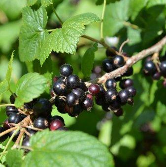 Касис 60 - 100 см. /Ribes nigrum/