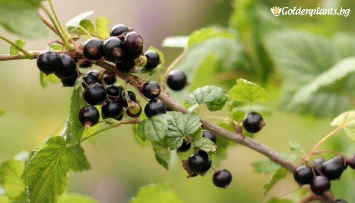 Снимка Касис 60 - 100 см. /Ribes nigrum/