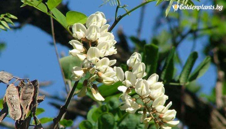Снимка Акация кълбовидна / Robinia pseudoacacia umbraculifera /