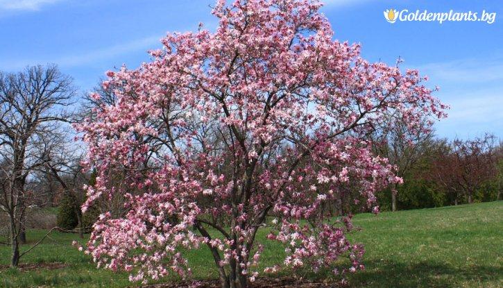 Снимка Магнолия loebneri Leonard Messel 15-25 см. /Magnolia loebneri Leonard Messel/